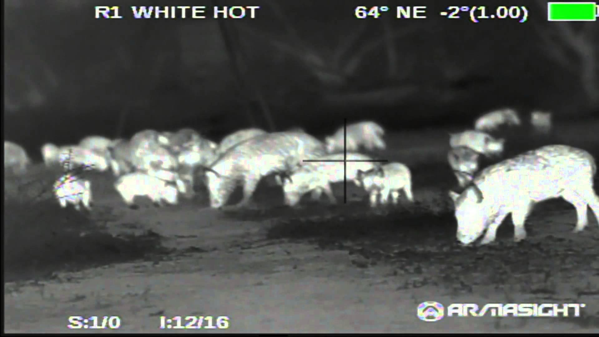 Thermal Hog Hunting in Texas