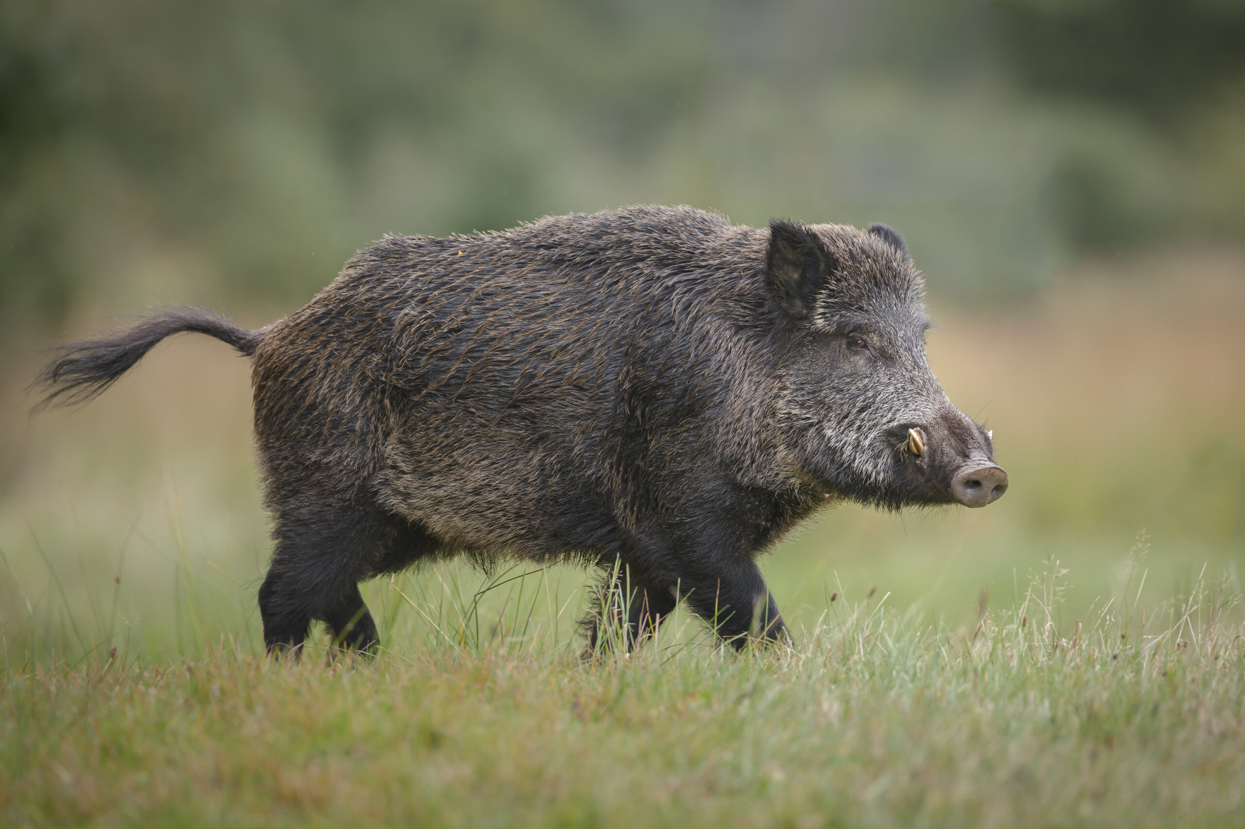 Wild boar in forest clearing