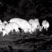Group Thermal Hog Hunting