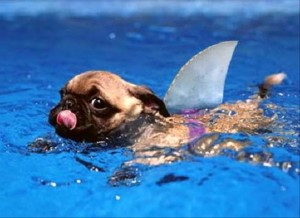Pug-Dog-Funny-Swimming