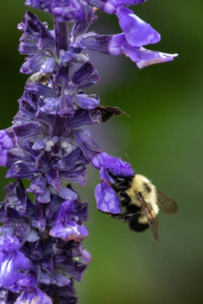silver-sage-greenhouse-bee-on-salvis