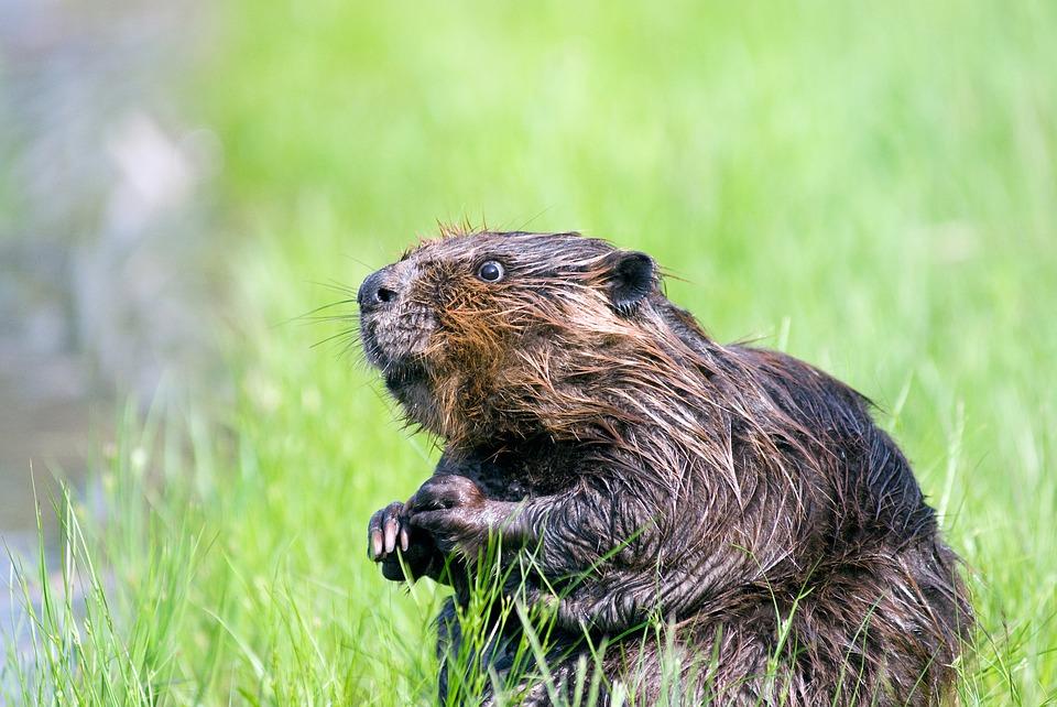 Native American zodiac beaver totem