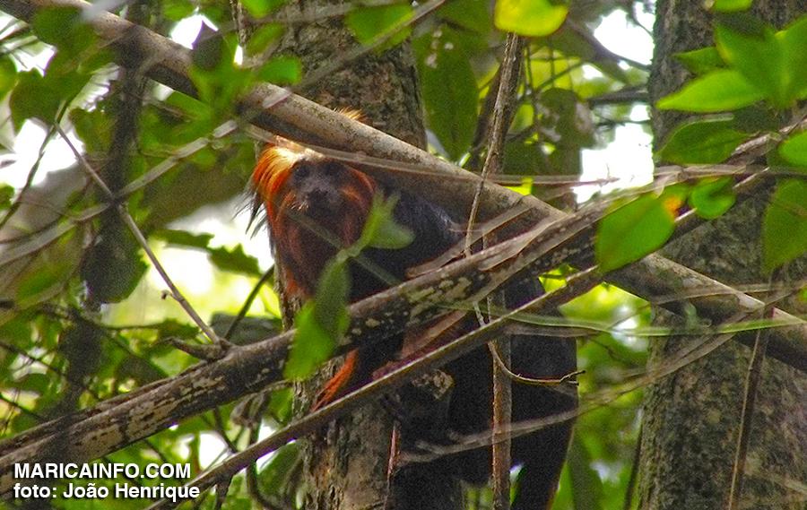 Um mico-leão-de-cara-dourada apareceu para a nossa equipe de reportagem na trilha para a Pedra do Elefante. (foto: João Henrique / Maricá Info)
