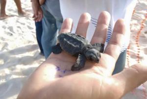 Tartarugas nasceram cerca de dois meses depois da mãe pôr os ovos.