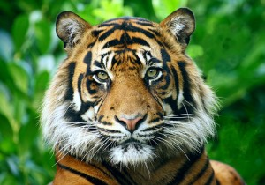 Tigers are a little bit squish, a little bit thrash. And its just this combination of unique selfhood that we don't want to lose to extinction.