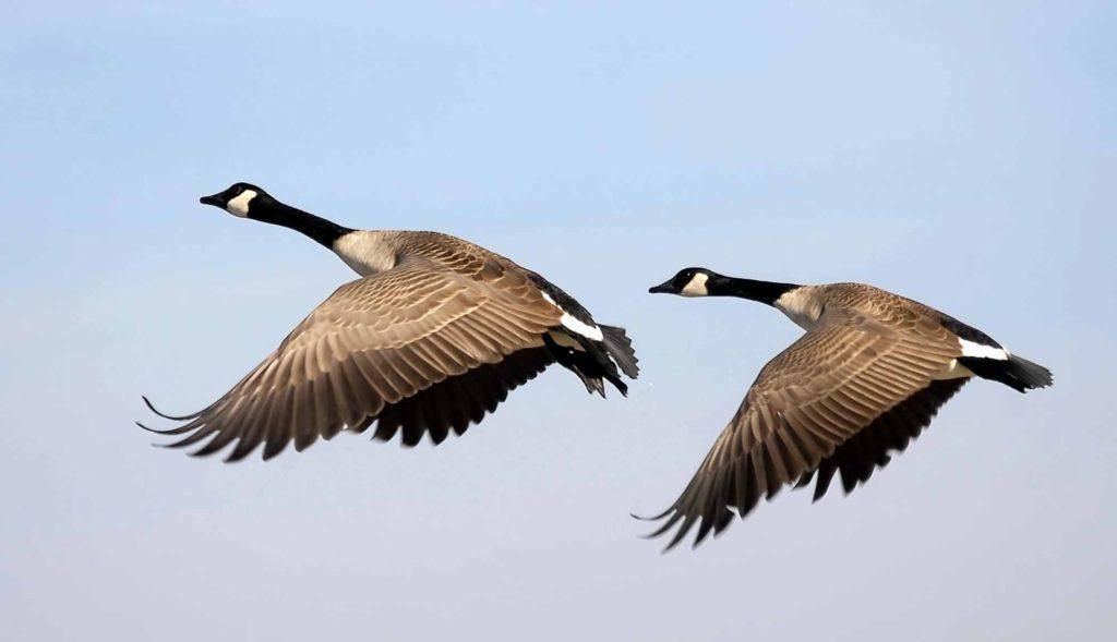 18 Canada Goose Category