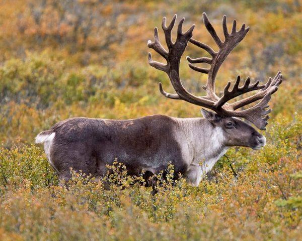 18 Caribou Hunts