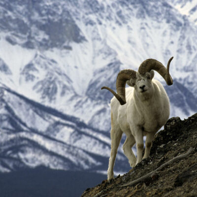 18 Dall Sheep Hunts