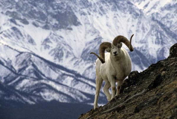 18 Dall Sheep Hunts