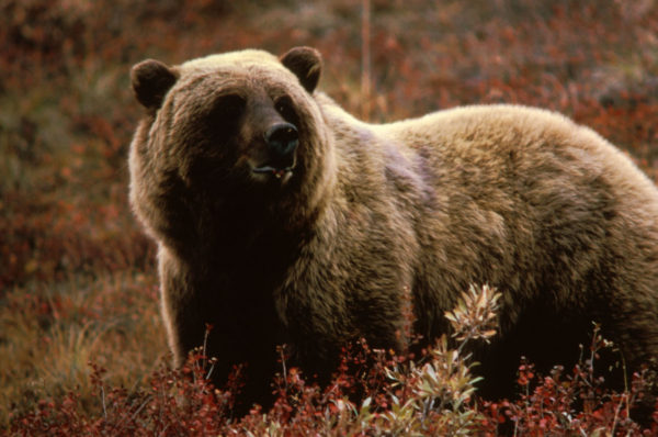 18 Grizzly Bear Hunts outdoorsman