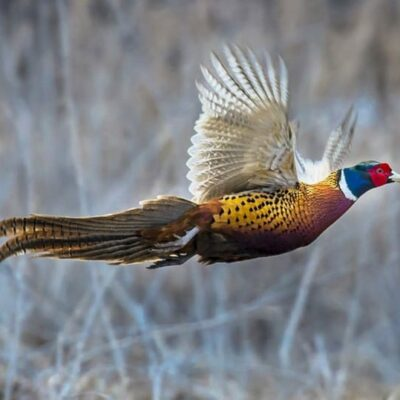 18 Pheasant Hunts outdoorsman