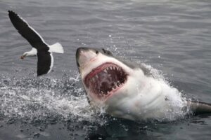 Great white shark attacking a sea gull