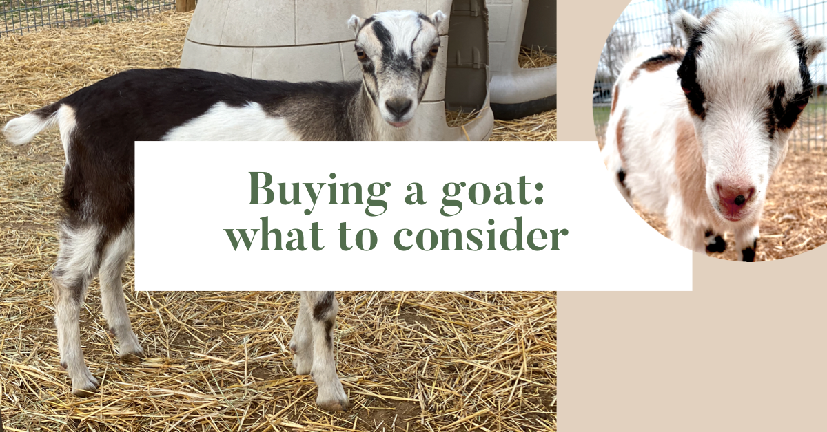 Buying a goat: what to consider