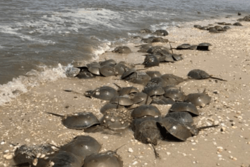 Jersey Shore Horseshoe Crabs