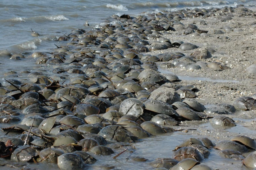 Horseshoe Crabs 2