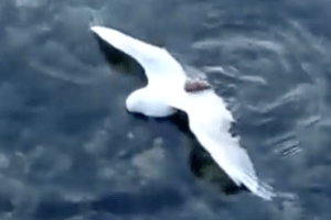 Octopus Catches A Seagull