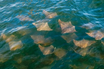 Jersey Shore Cownose Rays