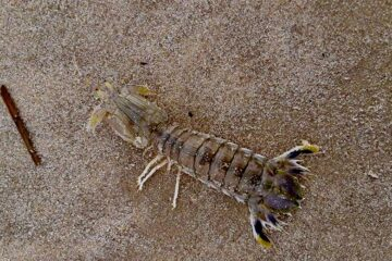 Mantis Shrimp Found On Cape May County Beach