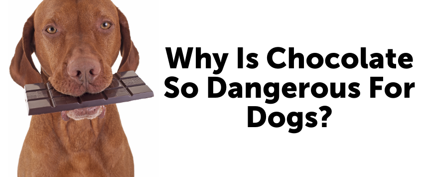 Why Is Chocolate So Dangerous For Dogs
