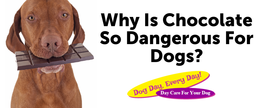 Why Is Chocolate So Dangerous For Dogs?