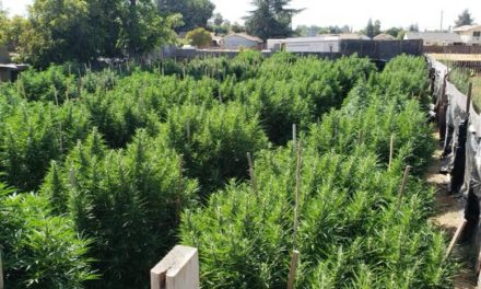 Large Amounts of Illegal Marijuana Plants Seized in Atwater