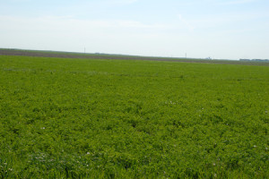 Alfalfa in Nebraska
