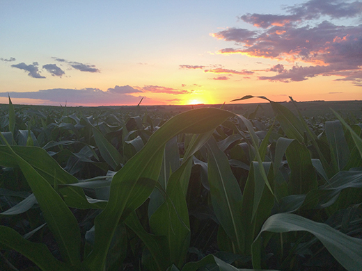 corn at sunrise