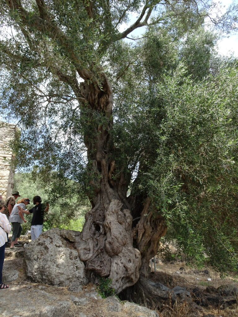 Greek Olive Tree