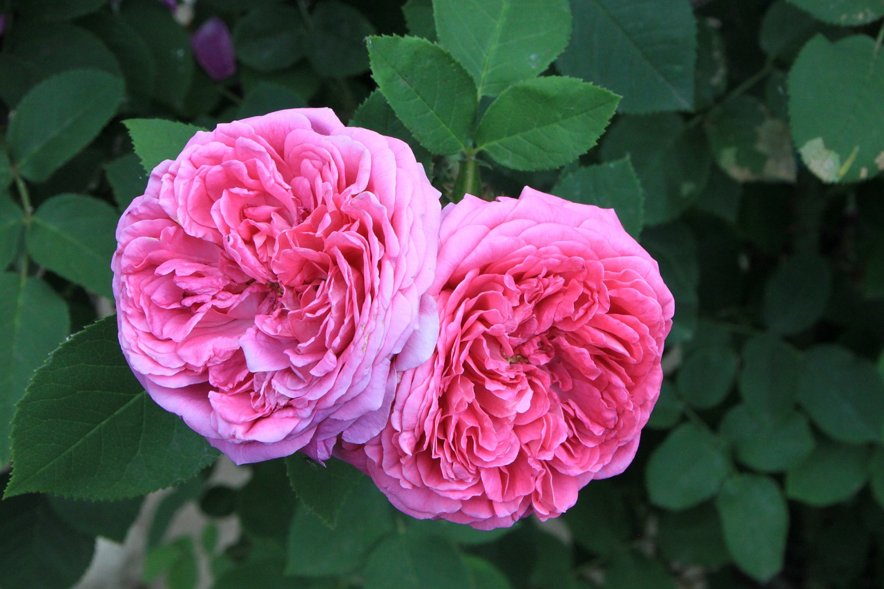 What Are the Benefits of Rose Essential Oil?