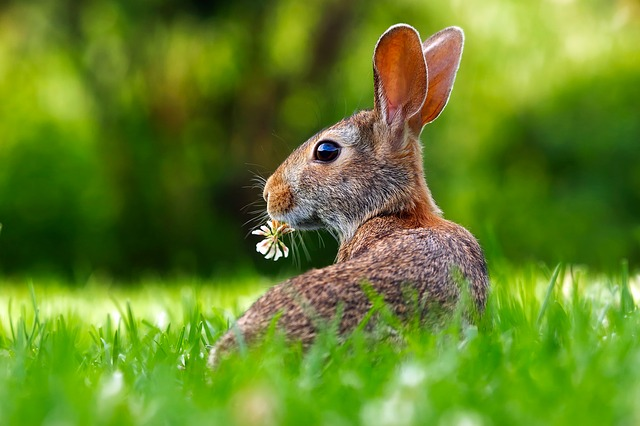 Do You Know Why Mrs. Rabbit gave Peter Chamomile Tea?
