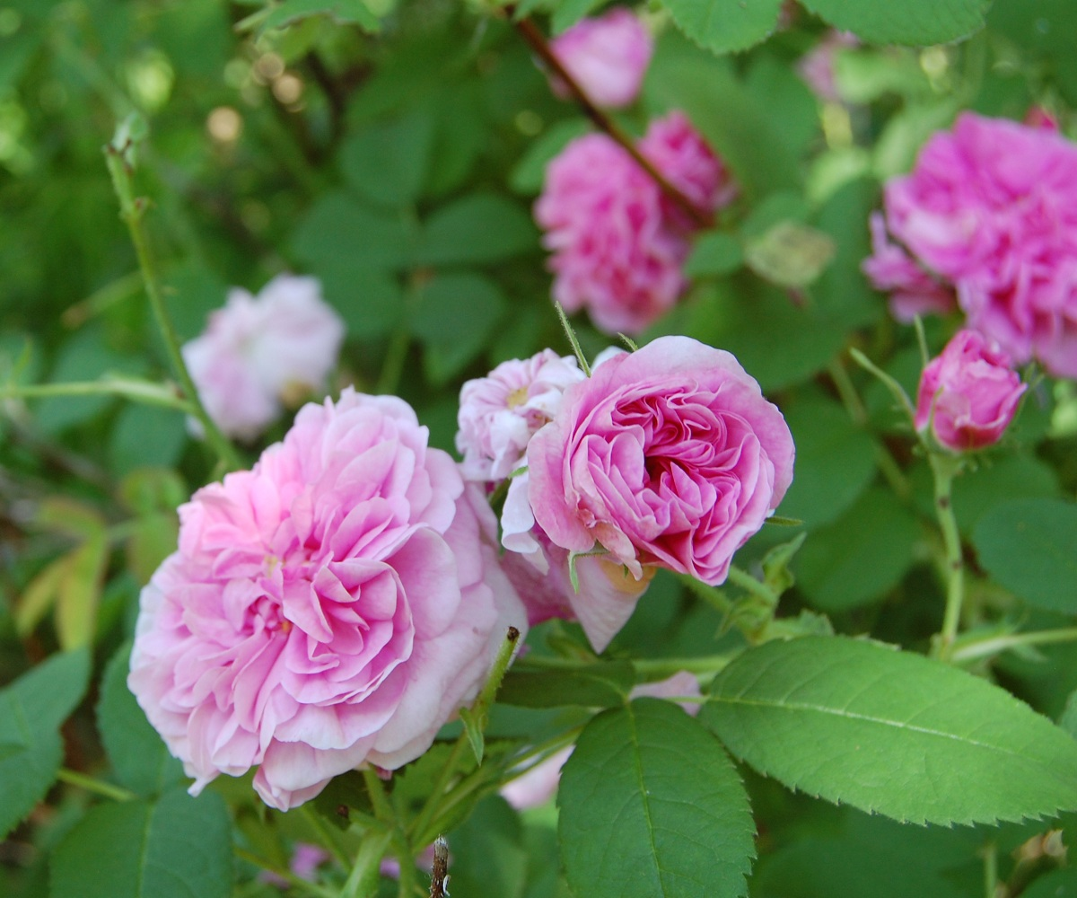Making Rosewater from Old Fashioned Roses