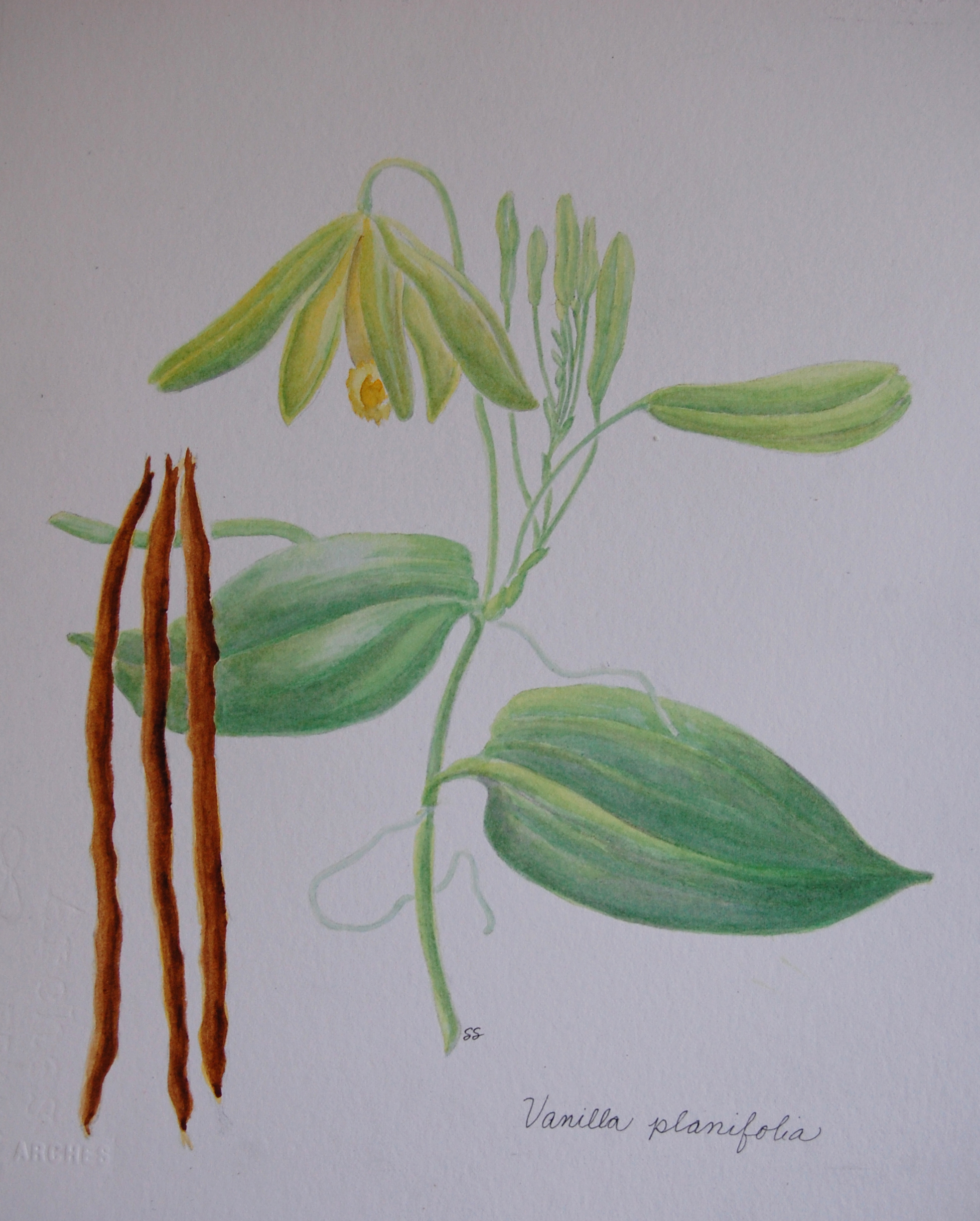 Did you Know That Vanilla Comes From an Orchid?