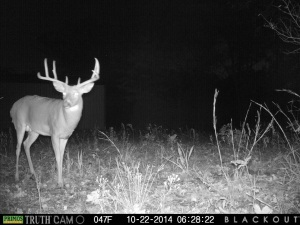 Bucks like this won't be strictly nocturnal much longer!