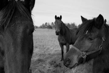 aiken-ponies.jpg