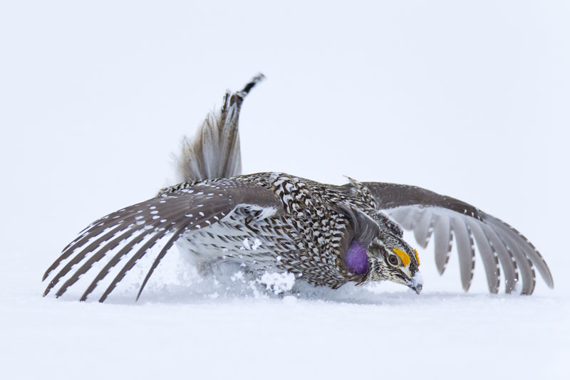 Species Profile: Columbian Sharp-tailed Grouse