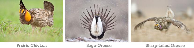 North American Grassland Grouse