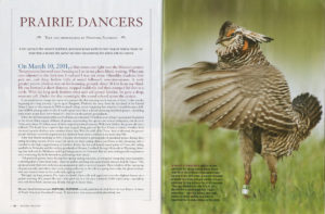 Prairie Dances of Grassland Grouse – National Wildlife Magazine