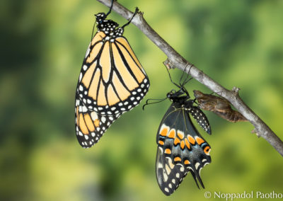Monarch & Black Swallowtail
