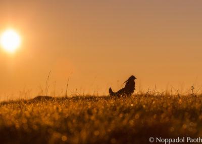 Attwater's Prairie Chicken Watching