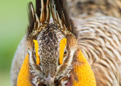Attwater's Prairie Chicken Displaying