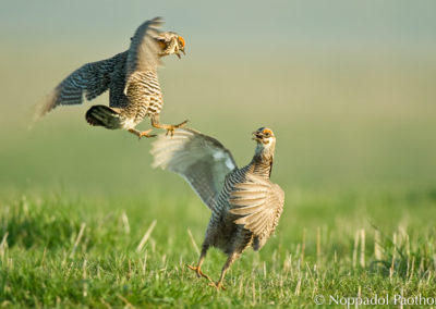 Prairie Chicken Fighting