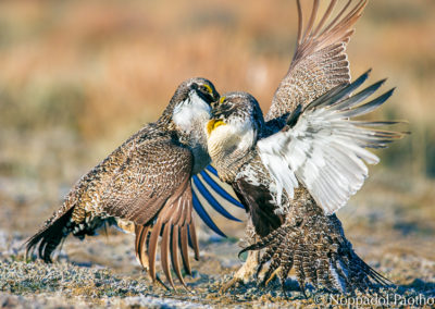 Males Sage-Grouse Fighting
