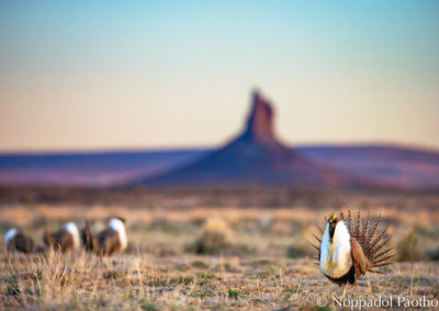 Sage-Grouse with Boar's Tusk