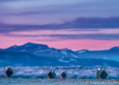 Greater Sage-Grouse Dance