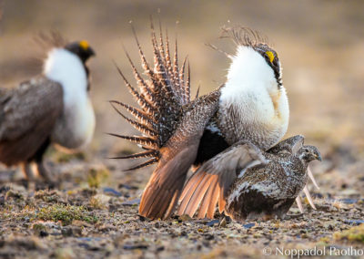 Greater Sage-Grouse Mating