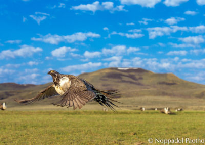 Greater Sage-Grouse Displaying