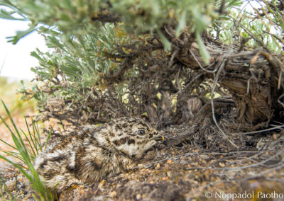 Sage-Grouse Chick