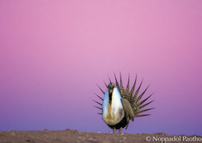 Greater Sage-Grouse Displaying in Twilight