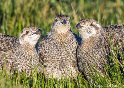 Greater Sage-Grouse Chicks Feeding