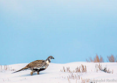 Greater Sage-Grouse cocks in Winter